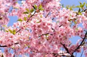 0327桜満開